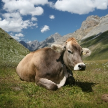 CH_cow_2_cropped